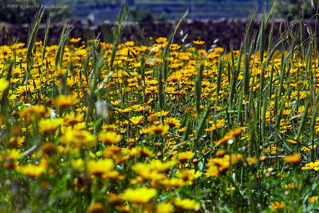 Fiori gialli a Malta