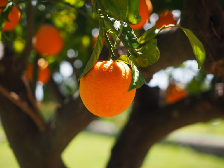 Il Consorzio Vivaisti Lucani propone potature su agrumi