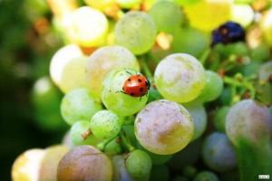 uva coccinella