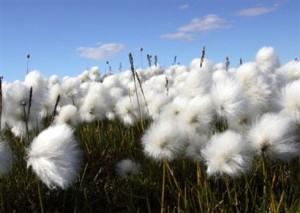 Un campo di cotone