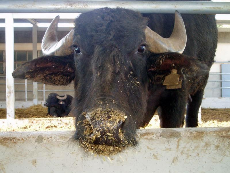 A Fiera Agricola la Mostra Nazionale della Bufala Mediterranea Italiana
