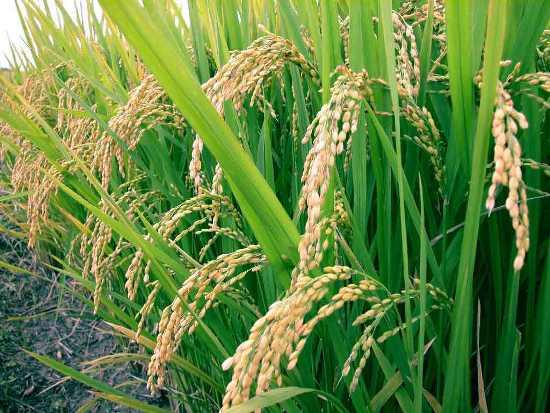La battaglia del riso. Compriamo ITALIANO, l'unica strada per salvarlo
