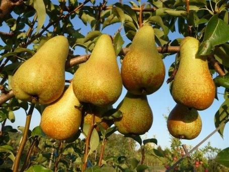 La pera: 5000 varietà e virtù. Nel 1700 il cibo da passeggio per eccellenza