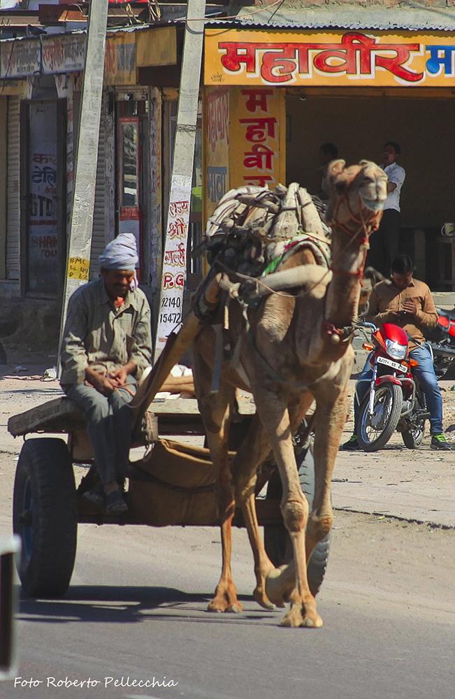 Bikaner cammello