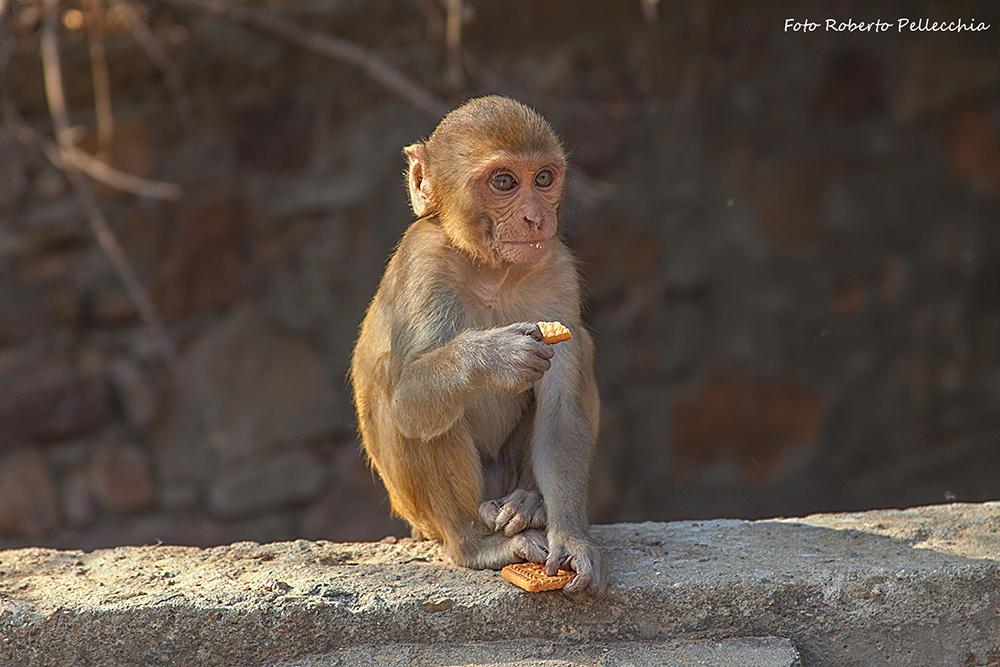 Templi dopo Jaipur scimmietta