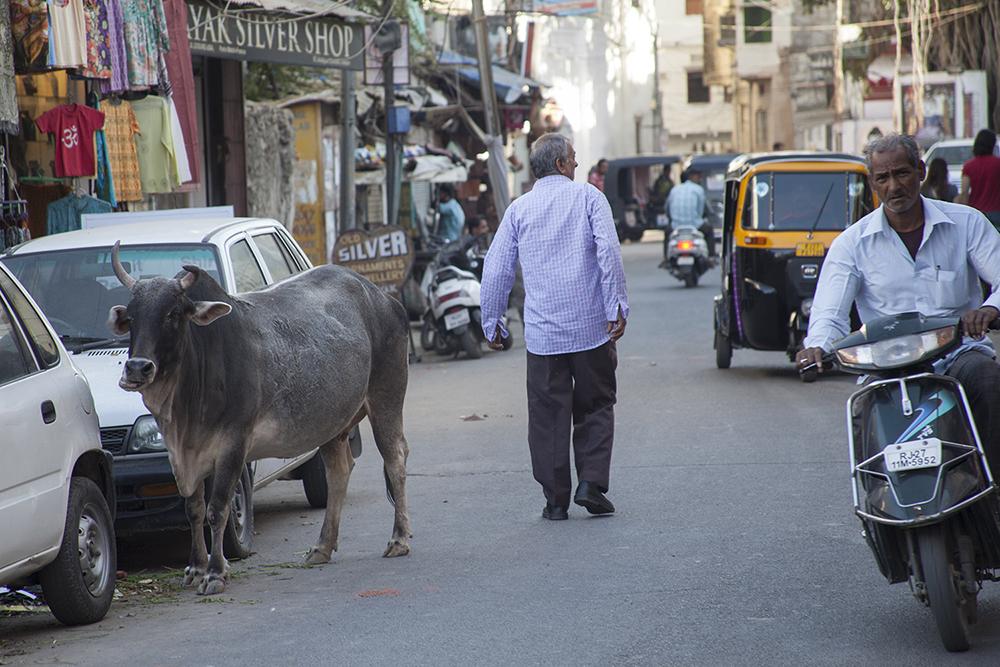Vacca Udaipur