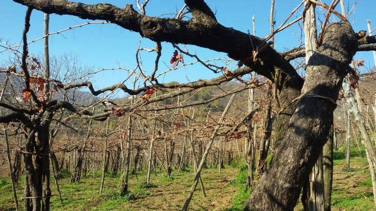 """Domenica in Costa d'Amalfi: """"Il mosto che diventa vino"""". Tramonti e le sue vigne centenarie"""