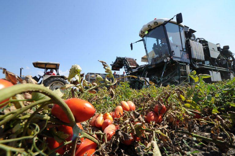 Prende il via la campagna di trasformazione del pomodoro. Oltre 64 mila gli ettari in Italia